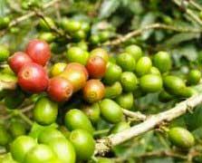 cafe_vert
